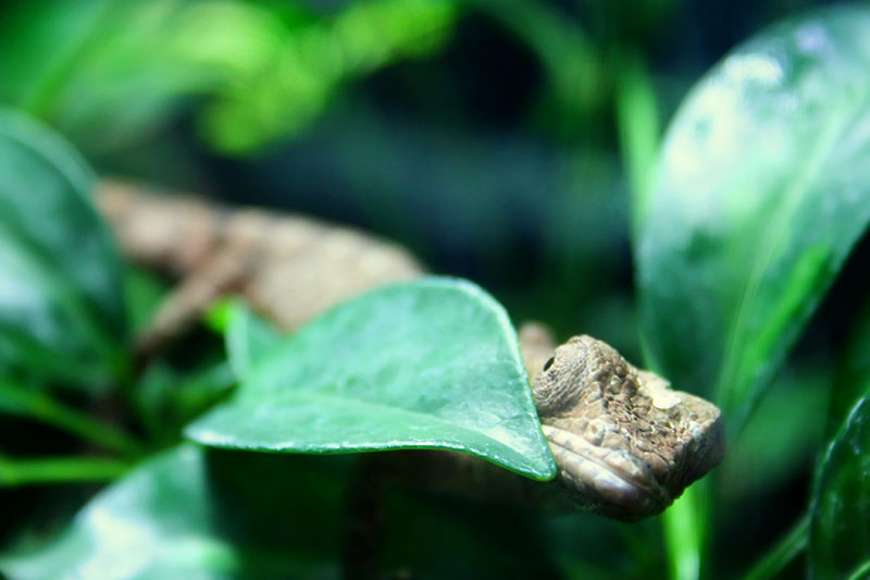 A lizard hiding behind some leaves.