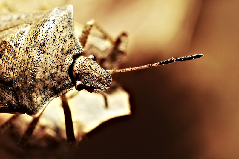 A Shield Bug (Stink bug) doing its thing.